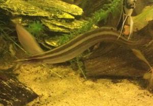 FAQs on Mastacembelid, Spiny Eel Behavior
